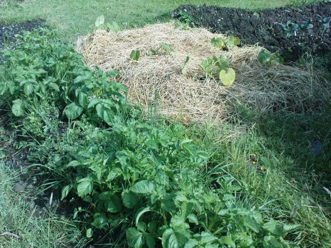 Lazy bed of potatoes alongside no dig bed of pumkins, isn't gardening so relaxing ?